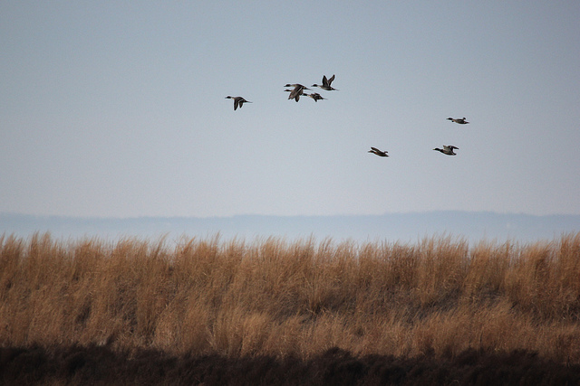 Northern pintails flying over marsh during winter
