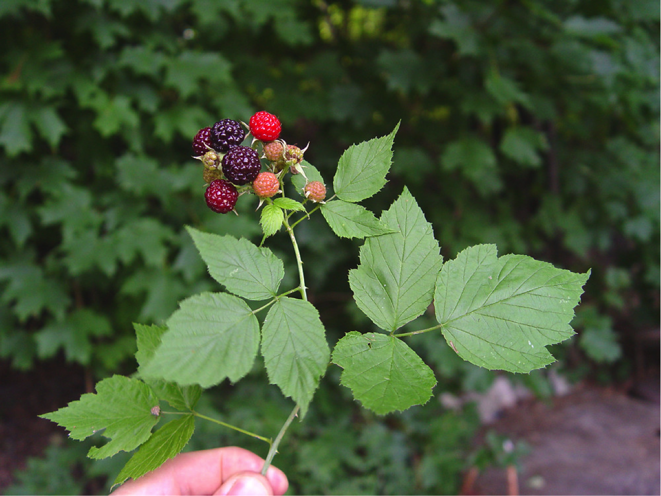 5 Common Edible Summertime Berries in the Chesapeake ...