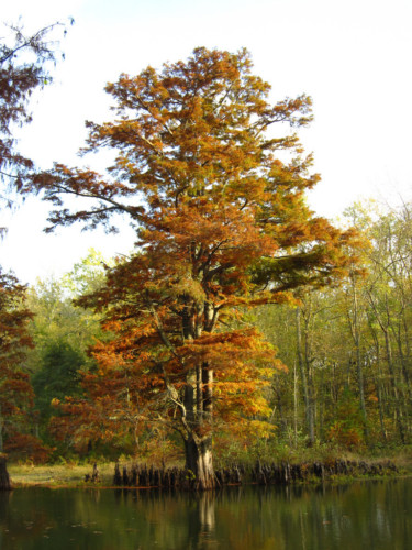 "A bald cypress changing color in the fall. Note the ""knees"" surrounding the tree. Photo Credit: Chris M, Flickr"