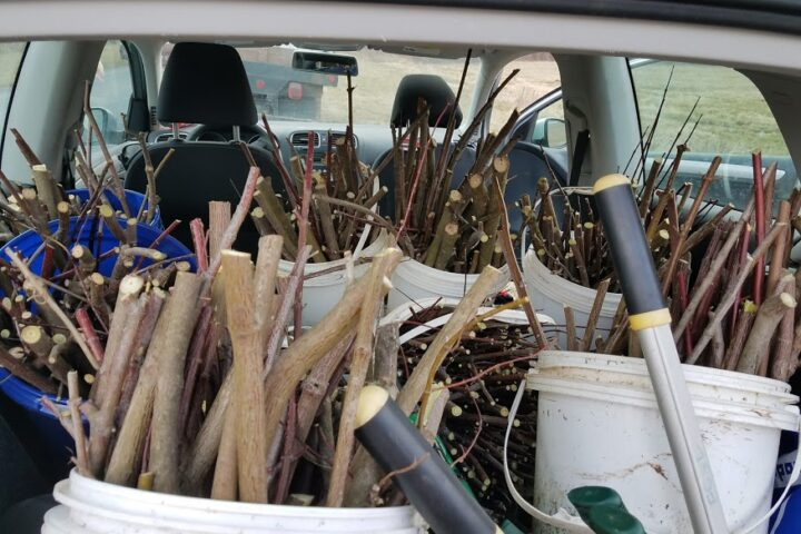 Buckets of freshly cut live stakes are stored in the back of a car.