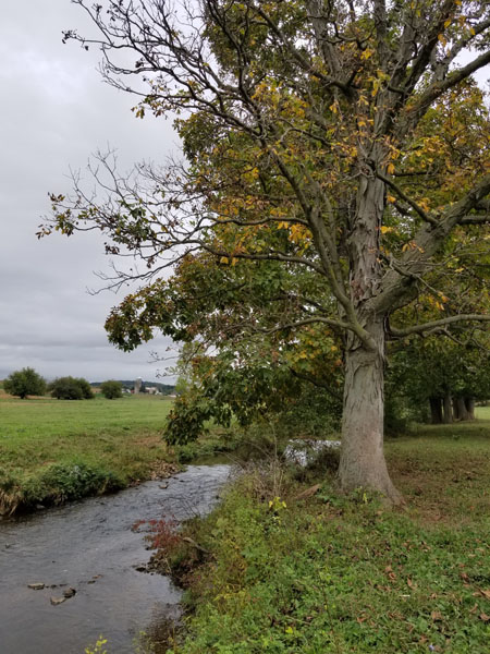 A photograph of a lone shagbark hickory growing on a stream bank.