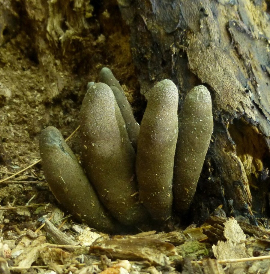 Photo of the fungus, Dead Man's Fingers (Xylaria polymorpha)