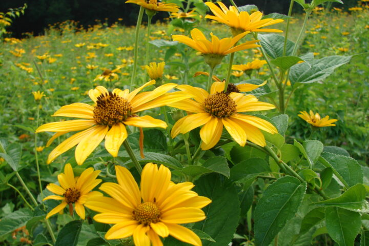 A close up of the flower, rudbeckia