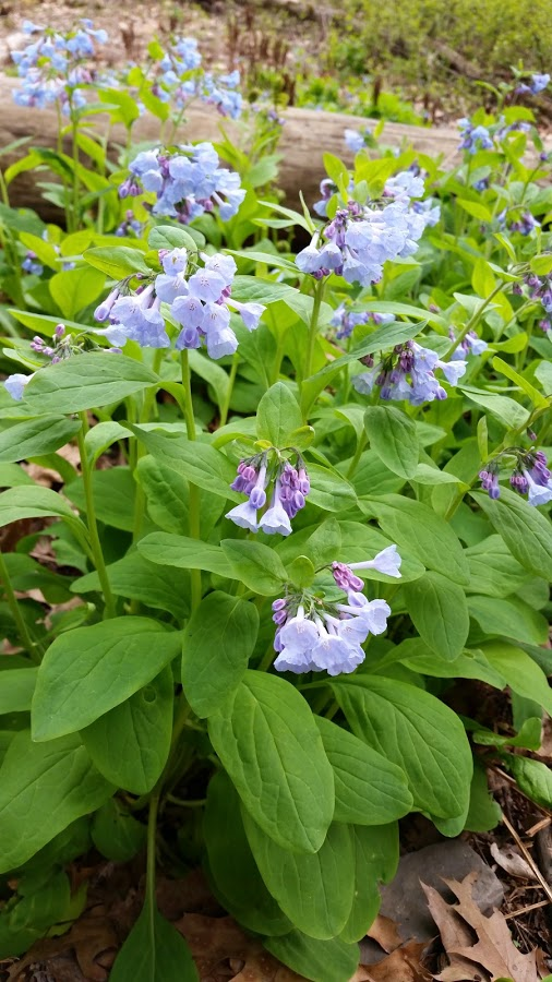 A patch of Virginia bluebells